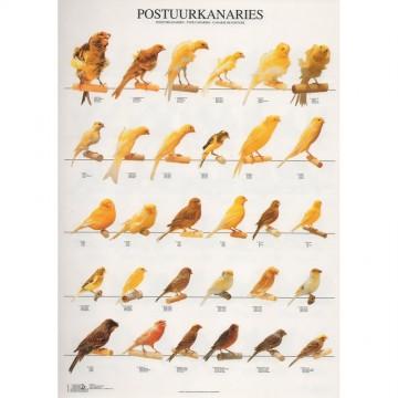 POSTER CANARIOS DE PORTE